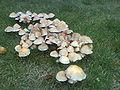 Fungi in Heaton Park.JPG