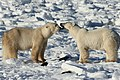 Gaiter and Earring, two polar bears (6379425359).jpg
