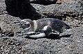 Galapagos Penguin (47776956091).jpg