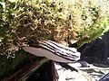 Ganoderma sp. at Growling Swallet in Florentine Valley.JPG