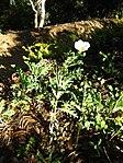 Gardenology.org-IMG 2639 ucla09.jpg