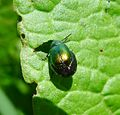 Gastrophysa viridula. Swollen Female - Flickr - gailhampshire.jpg