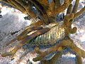 Gastropod egg case & octocoral (San Salvador Island, Bahamas) (15957536507).jpg