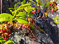Gaylussacia baccata - Black Huckleberry 2.jpg