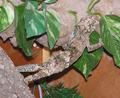 Gekkoninae Uroplatus sikorae sameiti male.png