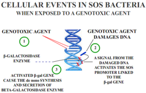 Genotoxicity - Overview of the use of the SOS response for genotoxicity testing