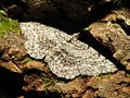 Geometer Moth - Flickr - treegrow.jpg