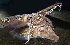 Georgia-Aquarium-Cuttlefish-RZ.jpg