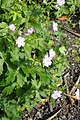 Geranium maculatum kz01.jpg