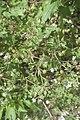 Geranium rotundifolium-2741.jpg