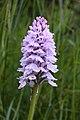 Gevlekte orchis met schuimcicade 01.JPG