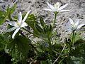 GewoneVogelmelk-plant-kl.jpg