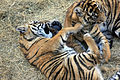 Gfp-sumatran-tiger-cubs.jpg