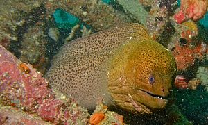 Giant Moray (Gymnothorax javanicus) (8503483940).jpg