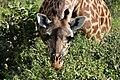 Giraffe, Ruaha National Park (21) (28661042361).jpg
