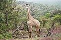 Giraffe in Zulu Nyala Reserve 02.jpg