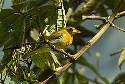 Giura Tanager - South Ecuador S4E1349 (23250383575).jpg