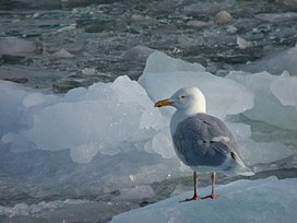 Glacous Gull on ice.jpg