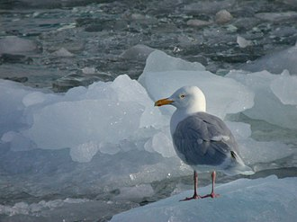 Glaucous gull - Image: Glacous Gull on ice