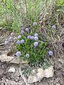 Globularia bisnagarica sl7.jpg