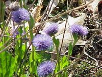 Globularia trichosantha0