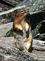 Golden-mantled Ground Squirrel 1024.jpg