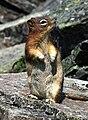 Golden-mantled Ground Squirrel 1024.jpg