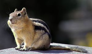 Golden-mantled ground squirrel - Image: Golden mantled ground squirrel