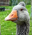 Goose (7992650482).jpg