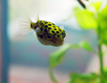 Grüner Kugelfisch.png