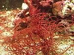 seaweed wikipedia
