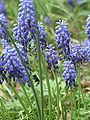 Grape Hyacinth - Foreground Focus - Cylburn Arboretum.jpg