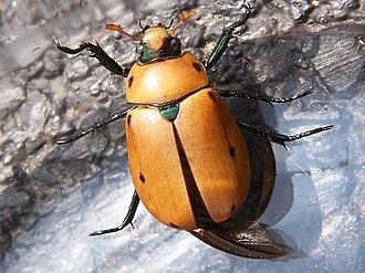 Grapevine beetle - Image: Grapevine beetle x