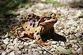 Grasfrosch Rana temporaria fem Gebirgspopulation 3.jpg