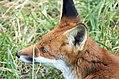 Grass fox (2741825581).jpg