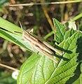 Grasshopper nymph (Chorthippus albomarginatus?), Sandy, Bedfordshire (9251398362).jpg