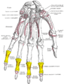 Gray219 - Intermediate phalanges of the hand.png