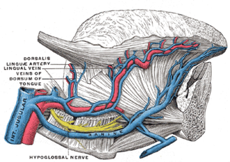 Lingual artery - Veins of the tongue. The hypoglossal nerve has been displaced downward in this preparation (lingual artery labeled at center left).