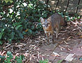 Gray fox mother Urocyon cinereoargenteus.jpg