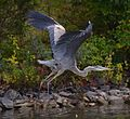 Great Blue Heron at SHL.jpg