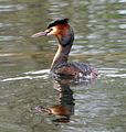 Great Crested Grebe. Podiceps cristatus. - Flickr - gailhampshire.jpg