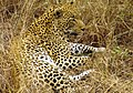 Great male Leopard in South Afrika-JD.JPG