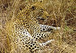 photo of a leopard