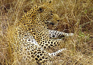 A leopard's disruptively colored coat provides camouflage for this ambush predator.