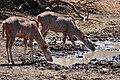 Greater Kudus (Tragelaphus strepsiceros) females drinking ... (50217506212).jpg
