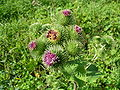 Greater burdock 2005 G1.jpg