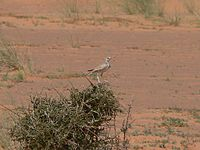 Greater hoopoe lark Mauritania