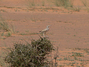 Greater hoopoe-lark - Perched on a bush (Mauritania)