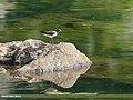 Green Sandpiper (Tringa ochropus) (36497082381).jpg