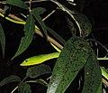 Green Vine-Snake.jpg